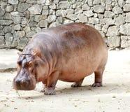 Het nijlpaard Stock Afbeelding