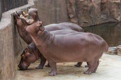 Het nijlpaard opent wijd de mond bedelend voor voedsel stock fotografie
