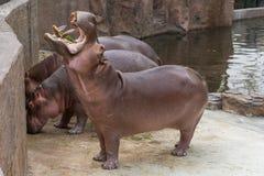 Het nijlpaard opent wijd de mond bedelend voor voedsel royalty-vrije stock afbeelding