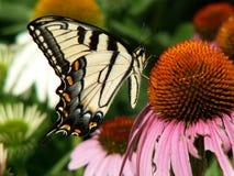 Het nippen van de vlinder Stock Foto's