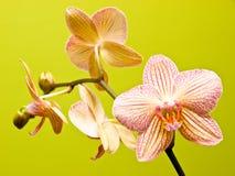 Het nog-leven van de orchidee stock fotografie