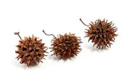 Het nog-leven van drie bruine vruchten van een fruitboom Royalty-vrije Stock Foto's