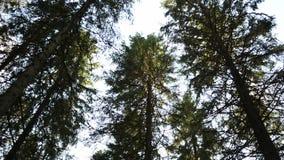 Het noordelijke bosbomen bewegen zich stock videobeelden