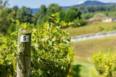 Het noorden Carolina Vineyard Royalty-vrije Stock Foto