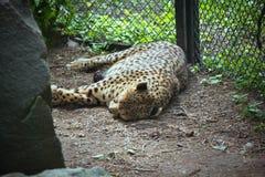 Het noorden Chinese luipaard die in een DIERENTUINkooi rusten Royalty-vrije Stock Afbeelding