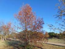 Het noorden Texas Cypress Tree in Daling Stock Foto