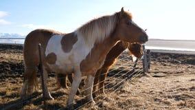 Het noorden van het paardendorp stock video