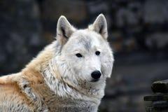 Het noordpool horizontale portret van de wolfskleur stock afbeeldingen