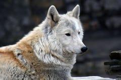 Het noordpool horizontale portret van de wolfskleur royalty-vrije stock afbeeldingen