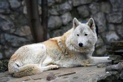 Het noordpool horizontale portret van de wolfskleur royalty-vrije stock foto