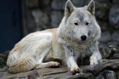 Het noordpool horizontale portret van de wolfskleur stock foto's