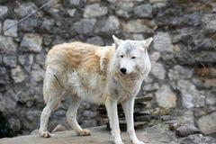 Het noordpool horizontale portret van de wolfskleur stock fotografie