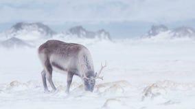 Het noordpoolwild - rendier in sneeuwblizzard