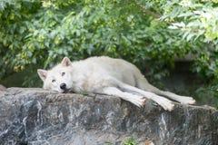 Het noordpoolwolf ontspannen op rotsachtige klip Royalty-vrije Stock Foto