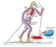 Het noordse skiån vector illustratie
