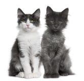 Het Noorse Boskatje van Kat twee (4 maanden oud) Royalty-vrije Stock Foto's