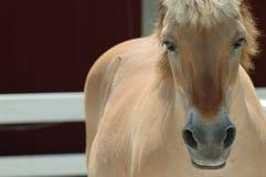 Het Noorse Paard van de Fjord stock foto