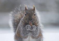 Het onder ogen zien aan camera die eekhoorn eten Royalty-vrije Stock Afbeeldingen