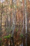 Het ondergedompelde bos van Biebrza moerassen royalty-vrije stock fotografie