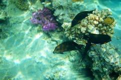 Het onderwater leven van Rode overzees Stock Foto