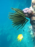 Het onderwaterleven met Zeeanemoon en vissen Stock Foto