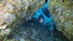 Het onderwaterleven - Tandbaarsvissen in een ertsader die aan de camera kijken stock videobeelden