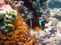 Het onderwaterleven van tropische overzees Stock Foto's
