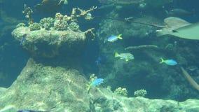 Het onderwaterleven van Vissenhaaien Batoidea stock footage