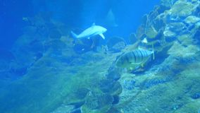 Het onderwaterleven van Vissenhaaien Batoidea stock videobeelden