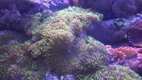 Het onderwaterzeeanemoonwild stock videobeelden