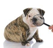 Het onderzoeken van gezicht van hond Stock Foto's