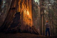 Het onderzoeken van Reuzesequoiabos royalty-vrije stock afbeelding