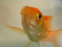 Het onduidelijke beeld van de goudvis Stock Foto's