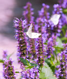 Het onduidelijke beeldachtergrond van aard medow purpere bloemen. royalty-vrije stock foto