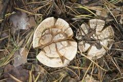 Het oneetbare close-up van de paddestoel bleke giftige paddestoel tegen een aardachtergrond Royalty-vrije Stock Fotografie