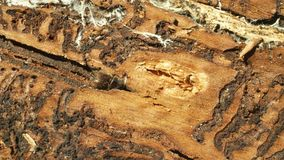 Het ongedierteips van de schorskever typographus, sparren en bastboom door de Europese sparren wordt geteisterd en wordt aangeval stock videobeelden