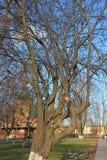 Het onjuiste snoeien van een boom royalty-vrije stock foto's