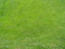 Het onkruid van de grasweide Stock Afbeelding