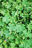Het Onkruid van de tuin Royalty-vrije Stock Foto