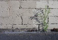 Het Onkruid van het parkeerterrein Stock Foto's