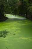 Het onkruid van het water in moeras Stock Fotografie