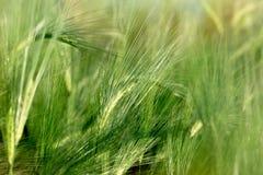 Het onrijpe gebied van de tarwetarwe - groen tarwegebied, landbouwgebied stock afbeelding