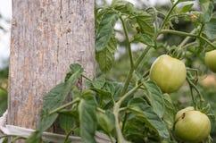 Het onrijpe groene tomaat hangen op de struik stock foto