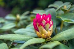 Het ontluiken rode rododendronbloei van het sluiten royalty-vrije stock fotografie
