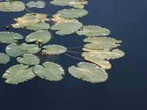 Het ontluiken Waterlelies Royalty-vrije Stock Afbeeldingen