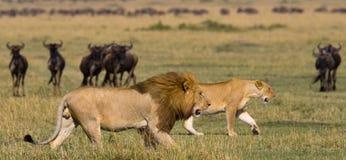 Het ontmoeten van de leeuw en de leeuwin in de savanne Nationaal Park kenia tanzania Masai Mara serengeti royalty-vrije stock foto