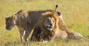 Het ontmoeten van de leeuw en de leeuwin in de savanne Nationaal Park kenia tanzania Masai Mara serengeti Stock Foto's