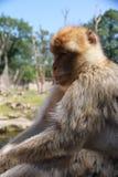 Het ontspannen aap Royalty-vrije Stock Afbeelding