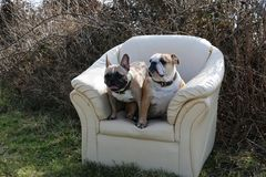 Het ontspannen buldoggen Royalty-vrije Stock Fotografie