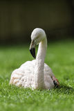 Het Ontspannen/de Zitting van de flamingovogel neer in het gras Stock Afbeeldingen